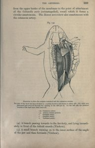 anatomyoffrog00eckeuoft_0247